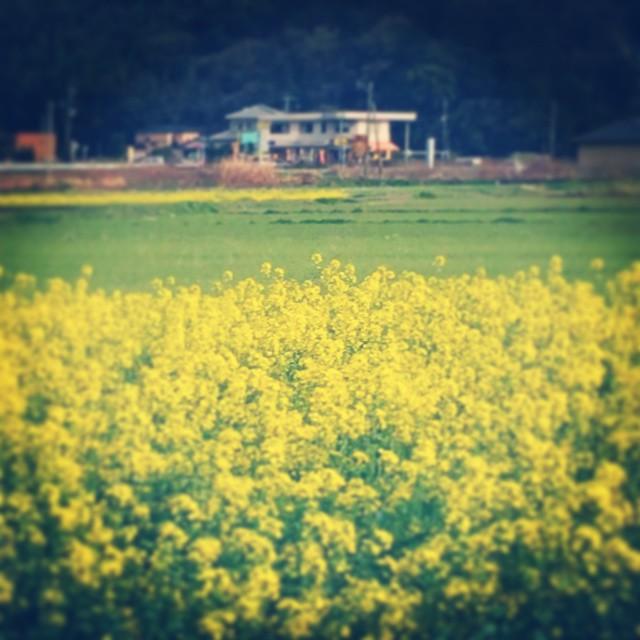 先日のミスからやはり催促され、言い訳にしかならないながら理由を言い、ようやく納品の途中。輝かしい春に癒される。#イマソラ #mysky #sky #flower #yellow #spring #country #road
