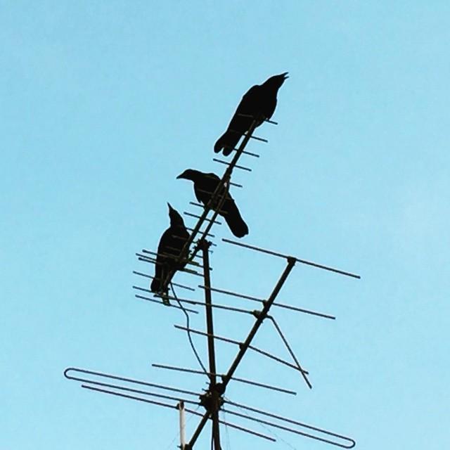 報告中。お頭!そっち行きますぜ!#イマソラ #mysky #sky #bird #crow #electric #line