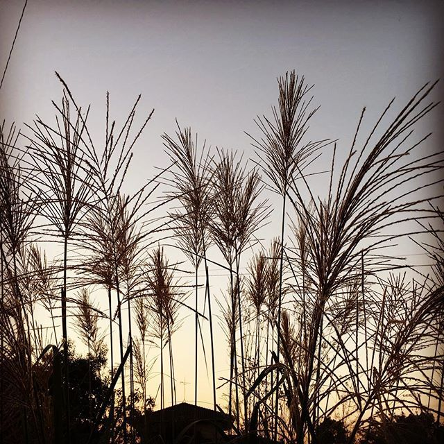 秋らしい繊細な夕暮れです。それでもちょっとの間に蚊が殺到してくる。そうか、今日はちょっと暑かったからかな?今日もお疲れ様でした。#イマソラ #mysky #sky #sunset #autumn #shadow #grass #silver #すすき #ススキ #秋