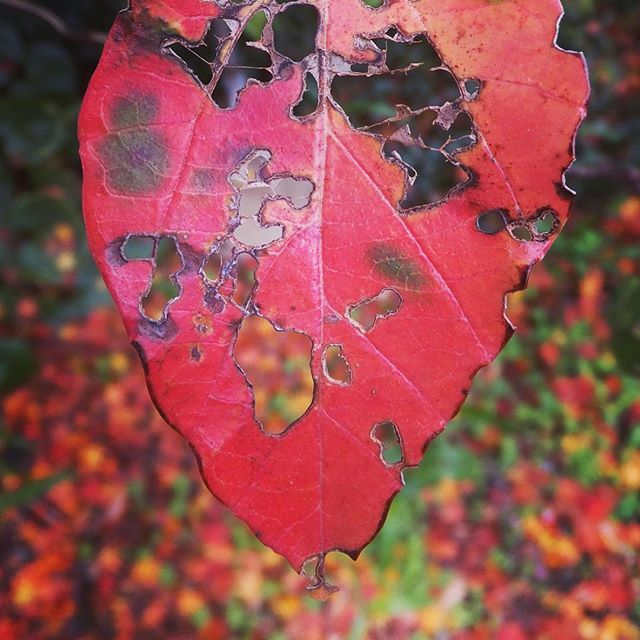 あっかんべー #red #leaf #autumn ︎#white #worm-eaten