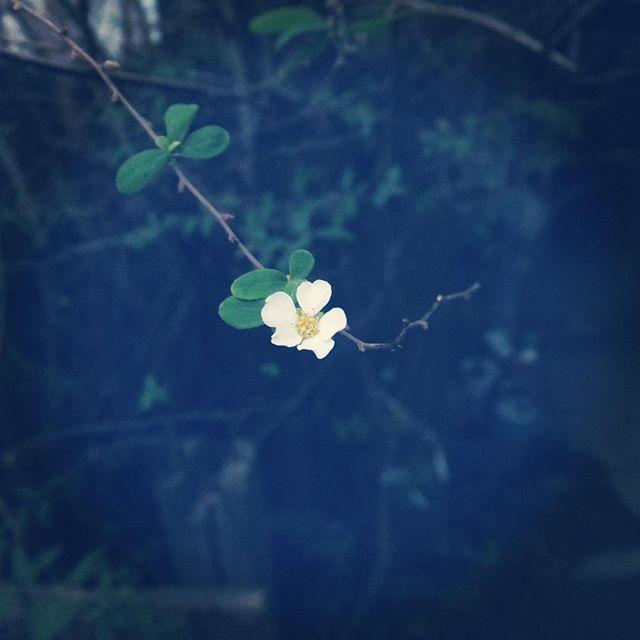 やっぱりあたたかくてかんちがいしてる人が、上の方に沢山いました。#trees #flower #white #branch #spiraea #雪柳 #ユキヤナギ #winter #december #2015