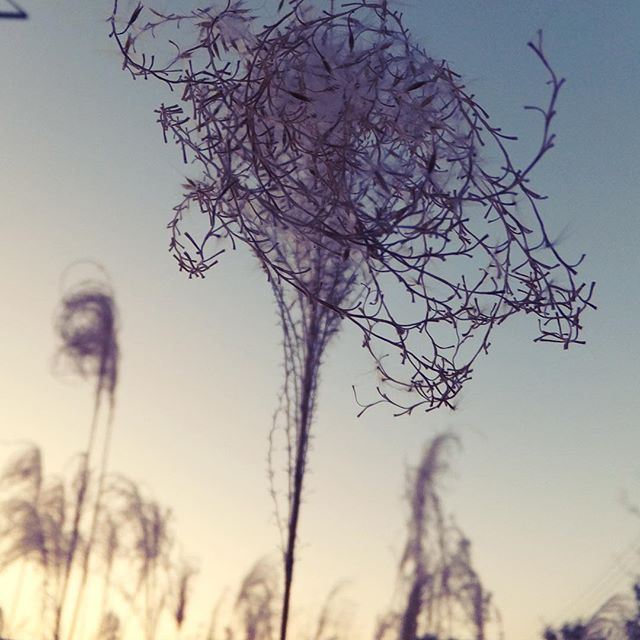 寒空にほんわか姫。今日も良い天気でさようなら。#イマソラ #mysky #sky #sunset #winter #december #2015 #seeds #japanese #silver #grass #susuki