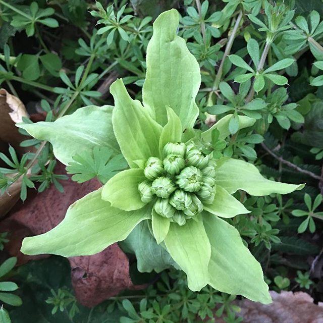 春の予感ですね。#green #plant #butterbur #scape #spring
