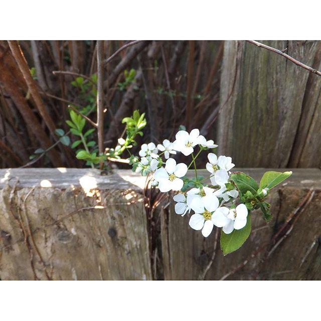 散り始めてはいますが、今年はしぶとく、満開を保っております。庭の雪柳。#ユキヤナギ #flower #branchs #white #spring #snow #spiraea 心地よい、春。