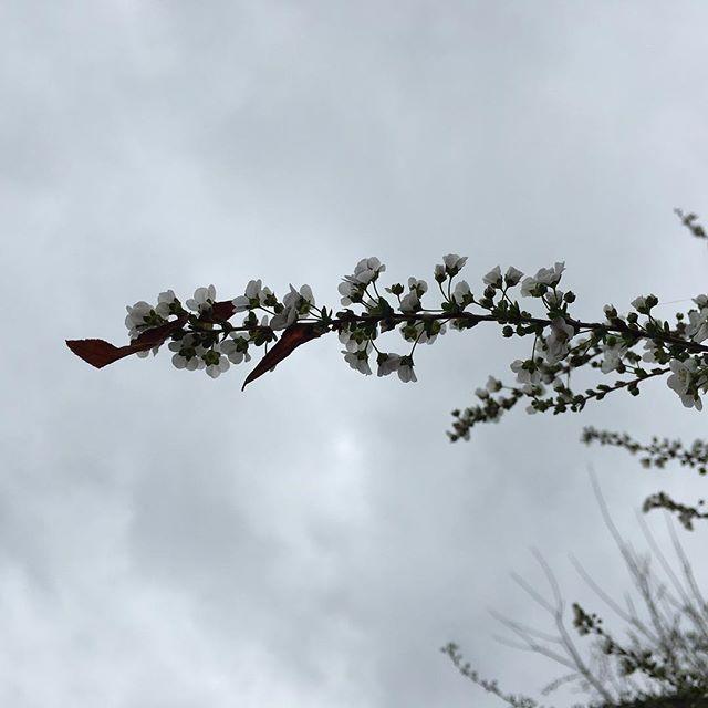 うわぁ、さっきとはうって変わってすごい風!一瞬の青空でした。ユキヤナギも散ってしまいそう。#イマソラ #mysky #sky #cloudy #wind #stormy #branch #spiraea #ユキヤナギ #雪柳