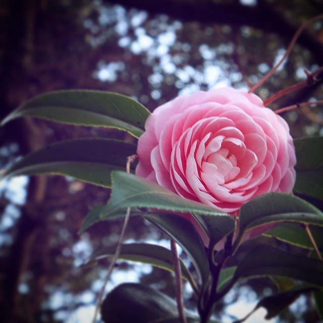 春の花、ピンク。#flower #pink #spring
