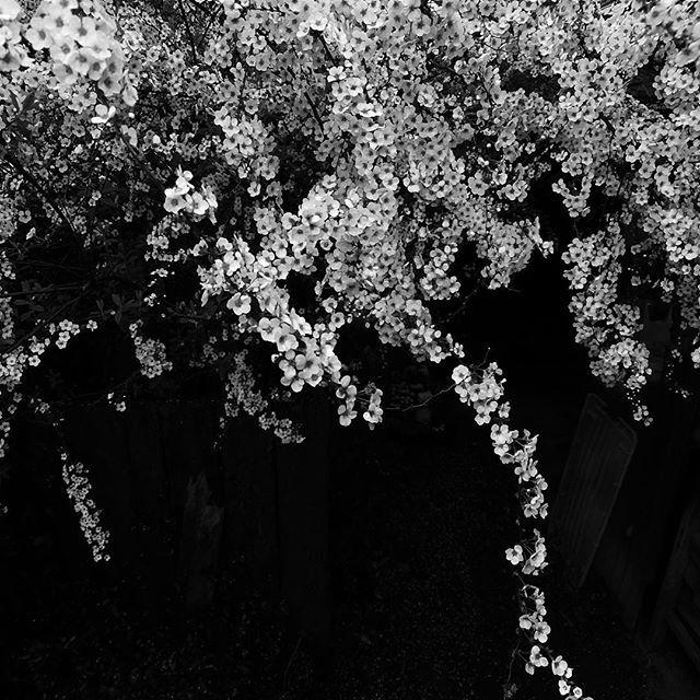春の花、白。#flower #white #spring #bw #blackandwhite