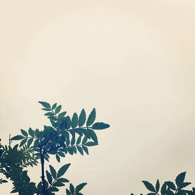 今日も無事朝を迎えることが出来ました。今日は雨模様。庭の山椒も元気に育っています。#イマソラ #mysky #sky #rainy #rain #cactus #gray #japanese #pepper #tree #sansho #spring #山椒