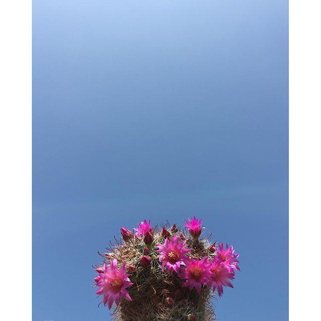 ちょっと忙しくしている間に、サボ子さんの頭は賑やかな花の帽子 #イマソラ #mysky #sky #fine #blue #green #cactus #flowers #spring