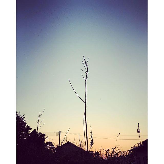 すっくと。希望の空へ。明日はまた、よき日に。#イマソラ #mysky #sky #fine #sunset #grass  #hope #town #shadow #spring #kumamoto #japan #2016