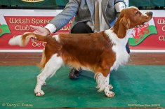 BPIS; PUPPY DOG, MAIDEN DOG: Sarabande Man In The Mirror (Ai). Welsh Springer Spaniel Club of South Wales Open Show 18-09-2016, held at Chepstow, Wales.