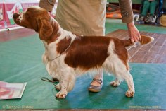 JUNIOR DOG: Jacranella Solo. Welsh Springer Spaniel Club of South Wales Open Show 18-09-2016, held at Chepstow, Wales.