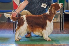 BIS; BDIS; OPEN DOG: Sh Ch Glenbrows Trademark JW. Welsh Springer Spaniel Club of South Wales Open Show 18-09-2016, held at Chepstow, Wales.