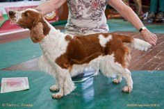 POST GRADUATE BITCH: Julita Rokahlua JW. Welsh Springer Spaniel Club of South Wales Open Show 18-09-2016, held at Chepstow, Wales.