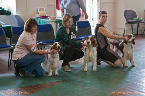 SPECIAL BREEDERS STAKES: Isfryn. Welsh Springer Spaniel Club of South Wales Open Show 18-09-2016, held at Chepstow, Wales.