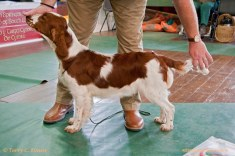 SPECIAL AWARDS: JUNIOR DOG OR BITCH: Glenbrows Liberty (Al). Welsh Springer Spaniel Club of South Wales Open Show 18-09-2016, held at Chepstow, Wales.
