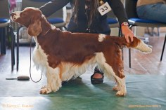 SPECIAL AWARDS: LEN MORGAN MEMORIAL STAKES: Kamunting Cast Away To Benoveor JW. Welsh Springer Spaniel Club of South Wales Open Show 18-09-2016, held at Chepstow, Wales.