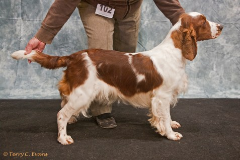 Best Puppy in Show & Puppy Bitch and Mary Payne Memorial Stakes - Pamicks Field of Dreams. Welsh Springer Spaniel Club of South Wales Championship Show 26-03-2016, held at Chepstow, Wales.