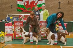 Best Puppy in Show - Pamicks Field Of Dreams; Best Veteran - Sh Ch Slapestones Smooth JW (Ai). Welsh Springer Spaniel Club of South Wales Championship Show 26-03-2016, held at Chepstow, Wales.