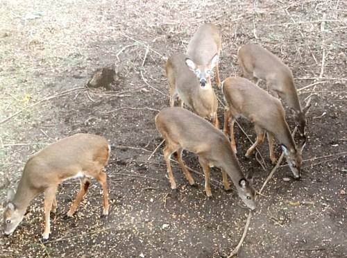 樹林裡出現的鹿