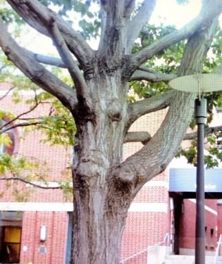 作者在大學校園,對著樹修真佛密法及祈禱,樹顯現人的臉