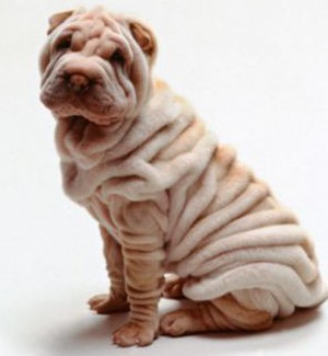 AY94DE Shar pei sharpei cute puppy on white background humorous animals