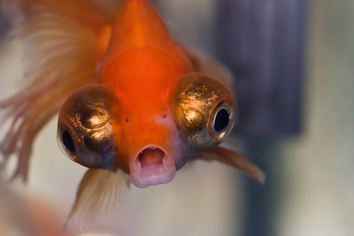 Power-Crazed Goldfish Plotting World Domination Under 'Year of Mobile' Guise