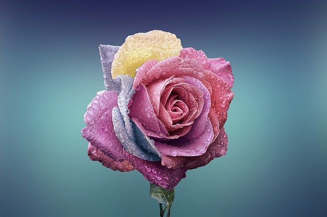 Pink rose whatsapp dp