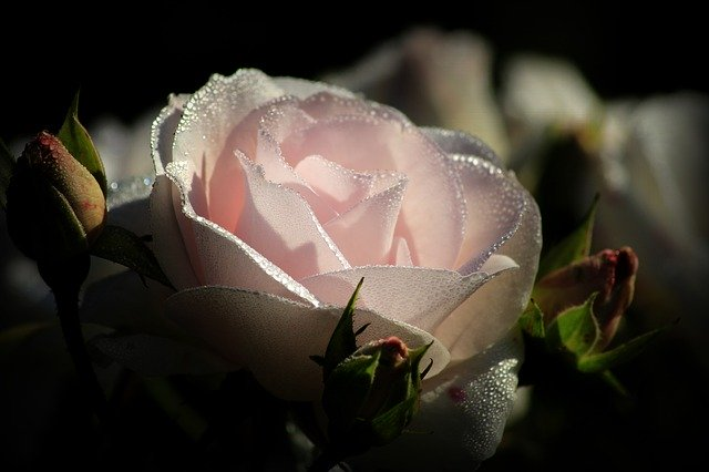 Beautiful pink rose picture download