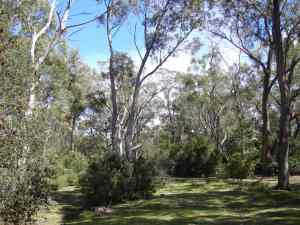 Eucalyptus Trees which cover much of the Peninsula