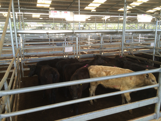 A mixed pen of yearlings