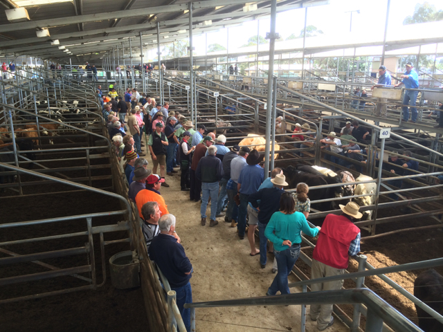 Bairnsdale store cattle sale in action