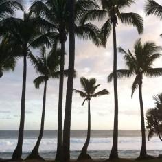 palmier La Reunion - Wundertute