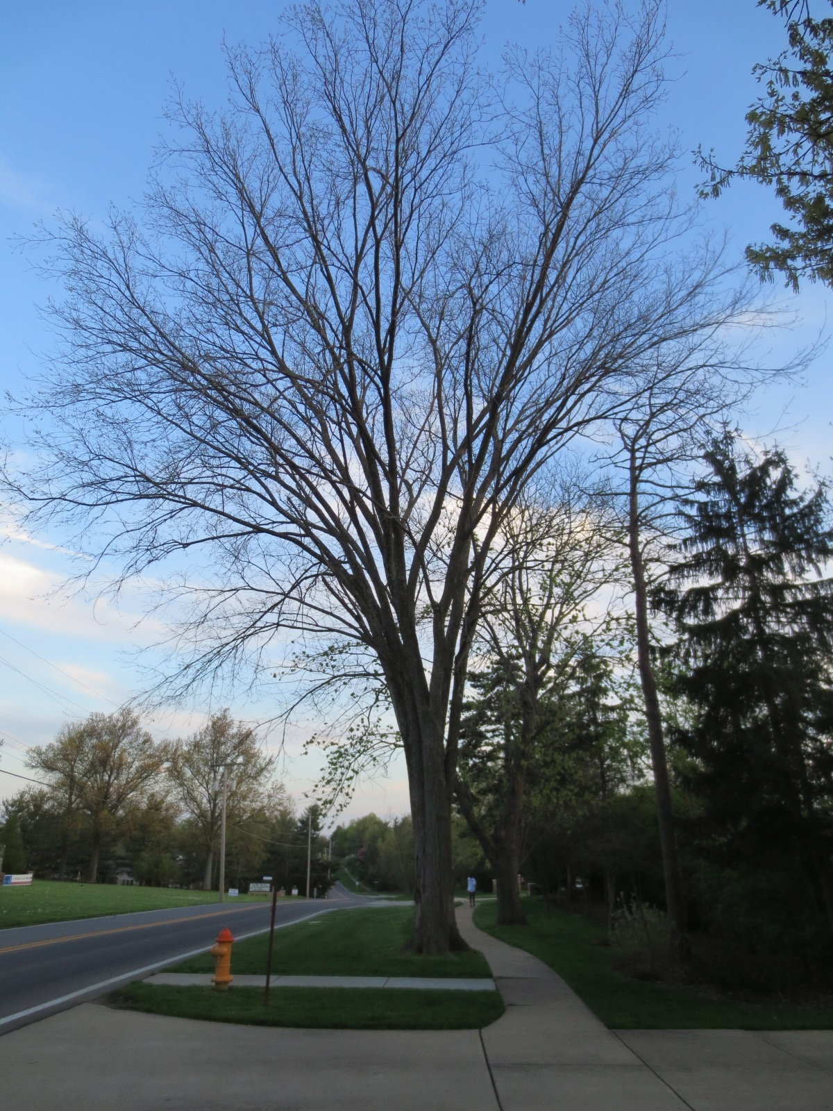 Shape Is Key To Identifying American Elm Wunderwoods