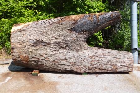 Big white oak crotch WunderWoods