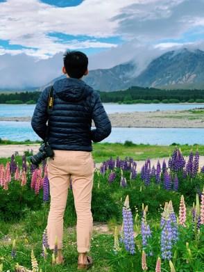 Lupins blooming along Lake Tekapo