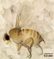 """Zombie Bee"" parasite.  Photo courtesy of Wikipedia"