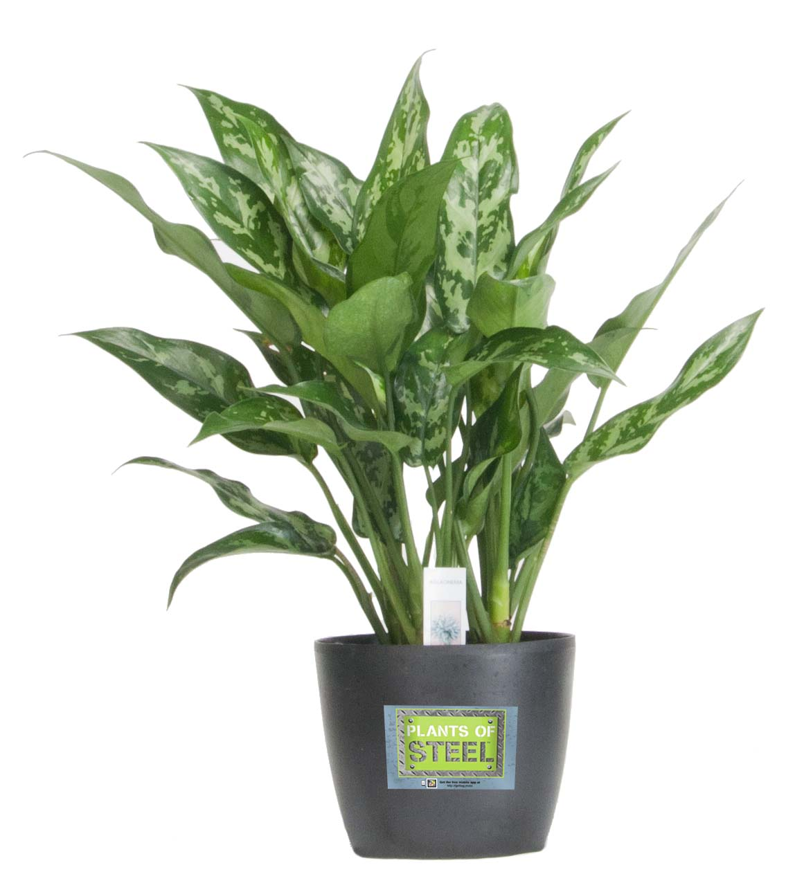 Best Kitchen Gallery: Costa Farms Introduces Durable Plants Of Steel Houseplant Collection of Tropical Foliage Houseplants on rachelxblog.com