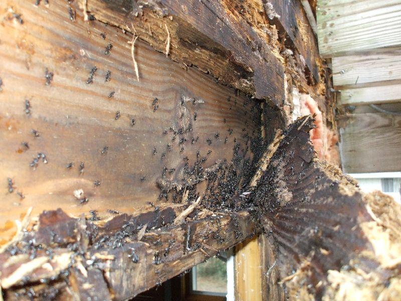 Ant Damage And Termite Carpenter Damage