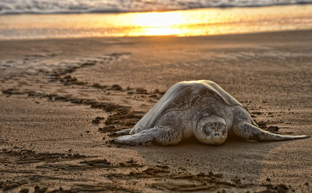 Sea Turtle Nestings Draw Tourists To Costa Rica