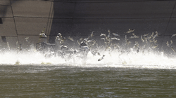 Thousands of Silver Carp leap out of the water at the Lake Barkley Dam