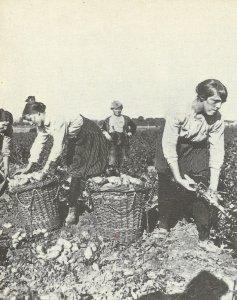 Women harvesting the potato crop i