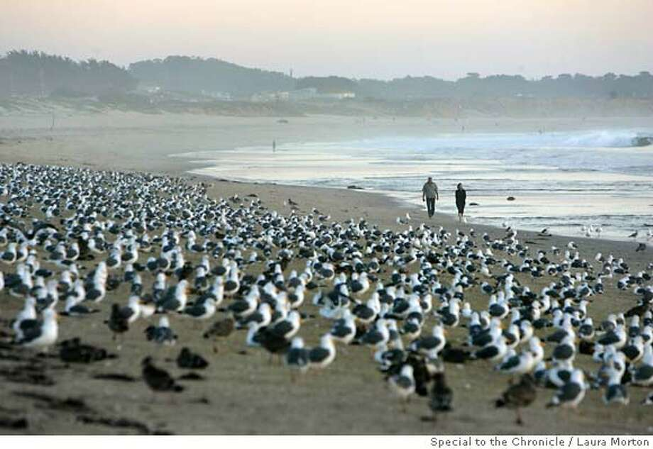 BEACHES_0016_LKM.jpg Rose Feerick and David Strohm pass through hundreds of seagulls as they walk along Venice Beach in Half Moon Bay. The beach has some of the most polluted water in the state, which could partially be caused by large number of seagulls that gather there. (Laura Morton/Special to the Chronicle) *** Rose Feerick  *** David Strohm Photo: Laura Morton