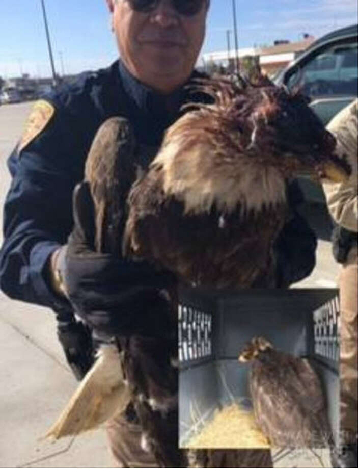 A bald eagle was severely injured in a shooting near Anahuac in Chambers County. (Chambers County Sheriff's Office)