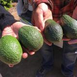 California Is On Its Way To Having An Avocado Crop Year-Round