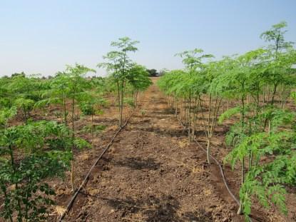 Moringa growing in the summer.