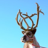 Rudolph's Antlers Could Help Restore Mobility in Injured Humans