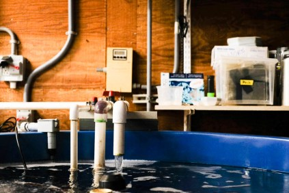 Fresh sea water is pumped into large open tanks at Bodega Marine Lab's abalone rearing facility.