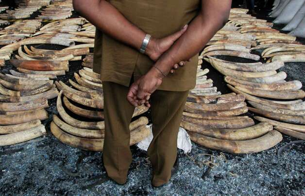 A Sri Lankan customs officer looks at seized elephant tusks at a customs warehouse in Colombo, Sri Lanka, Tuesday. The Sri Lankan customs officials Tuesday seized 400 tusks of African elephants at the Colombo Port from a Dubai bound transit cargo, customs officials said. (AP Photo/Eranga Jayawardena) Photo: Eranga Jayawardena, Associated Press / AP2012