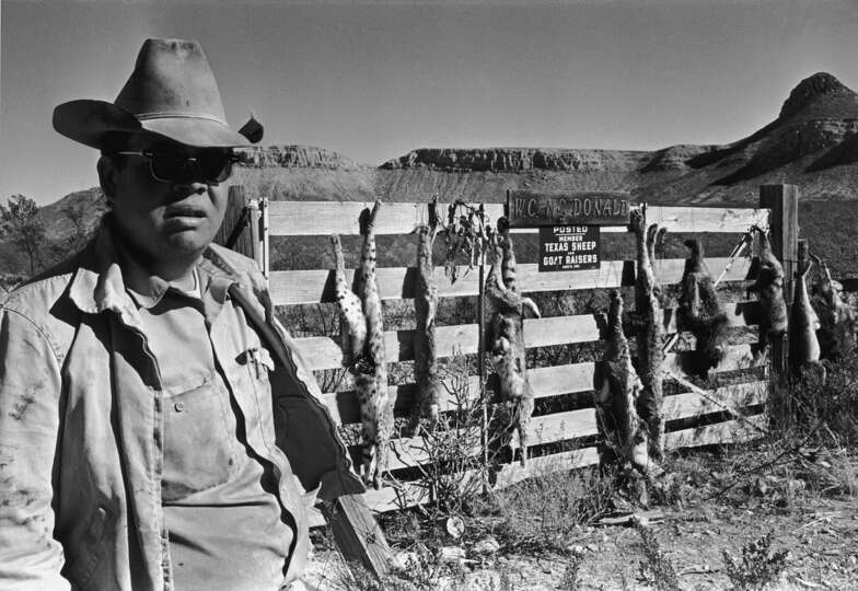 A man stands outside a gate from which the carcasses of dead animals hang, Texas, 1968.